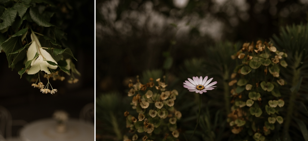 fleur plantes tilleul marguerite