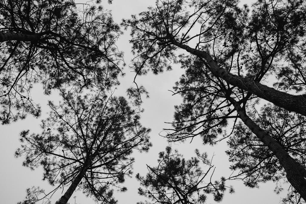 pins arbres dune forêt Assérac Loire-Atlantique