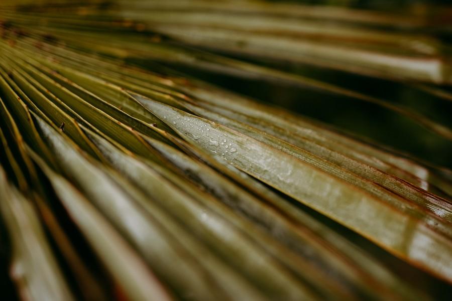 gouttes accrochées palme palmier trachycarpus fortunei défi coronavirus confinement covid-19