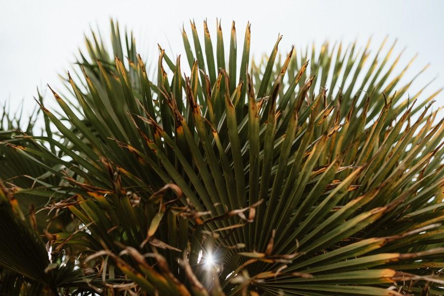 palmier trachycarpus soleil contre-jour